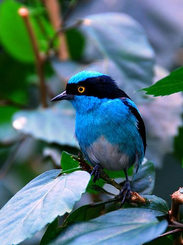 The Black-faced Dacnis is a species of bird in the Thraupidae family. It is found in humid forest in the Amazon and the Chocó-Magdalena.