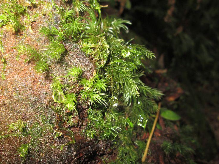 lumut hutan hujan 1