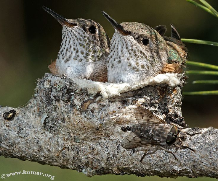 A fly lands near the nest that shows how small the baby Broad-Tailed Hummingbirds are! you probably can't see the fly, but check it out!