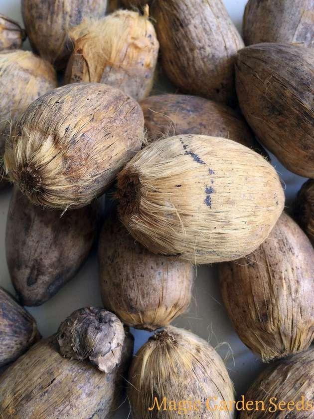 DIY - Liebeskräuter selbst anbauen: Betelpalme / Betelnuss (Areca catechu) - Samen jetzt im Online Shop von Magic Garden Seeds erhältlich.