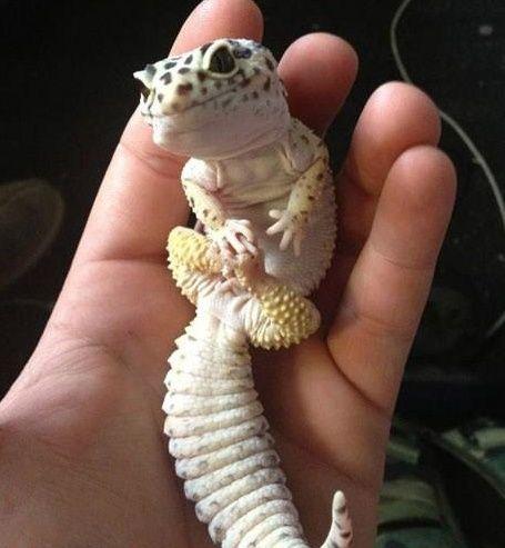 Leopard Gecko Information & Facts