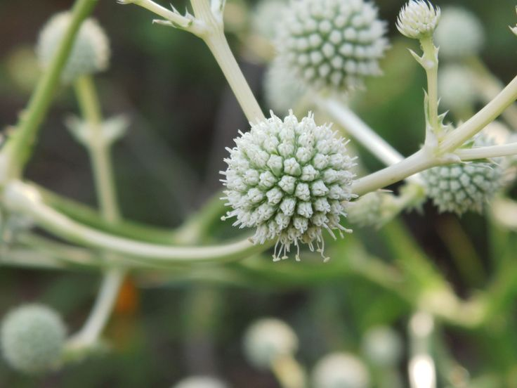 """Flor silvestre, sur de Chile """"Wildflower southern Chile"""""""