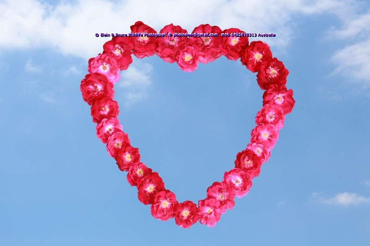 http://www.istockphoto.com/photo/wild-rose-heart-54950800… Valentine's day soon You can buy this image from www.istock.com or I can put your family image in the heart and email back to you for twenty Australian dollars  pay pal to photodeer@gmail.com and don't forget to send your family photo. Please let me know the image you prefer. http://www.istockphoto.com/photo/wild-rose-heart-54950800…