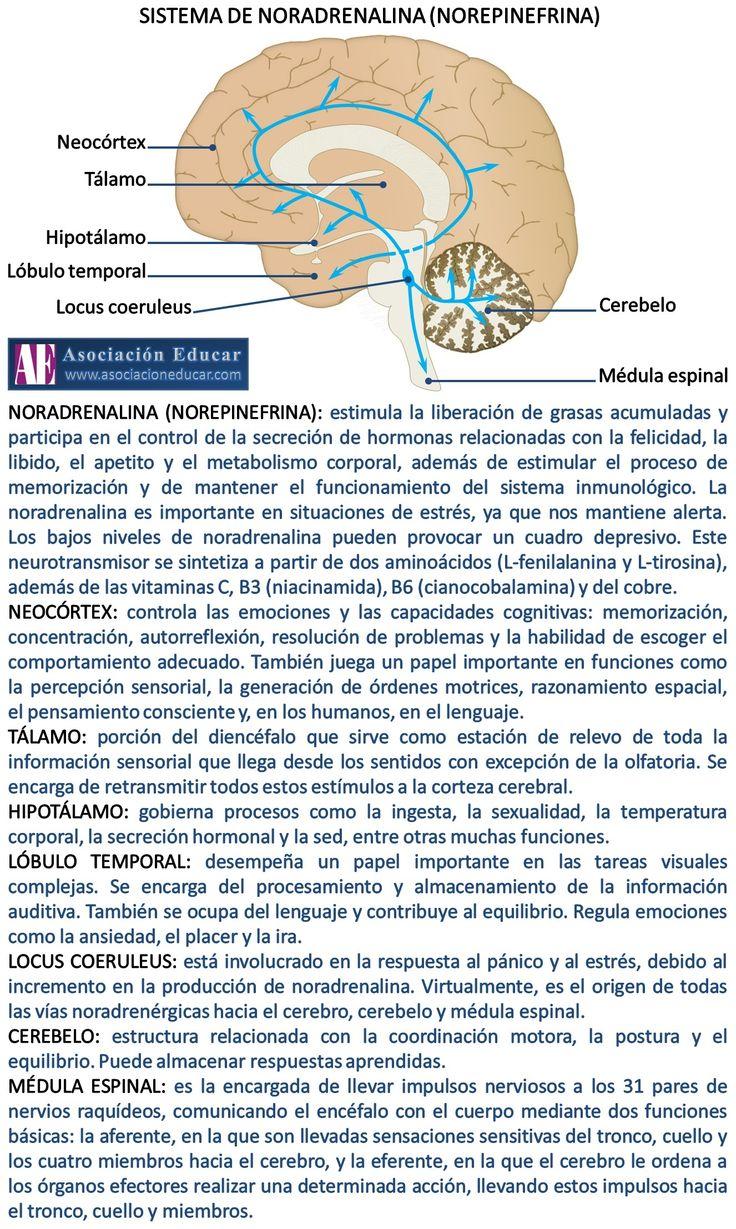 Infografía Neurociencias: Sistema de noradrenalina (norepinefrina). | Asociación Educar