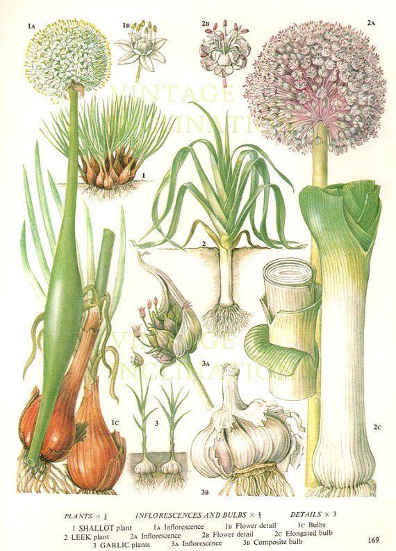 Vintage Botanical Print Antique LEEKS GARLIC by VintageInclination, $9.98