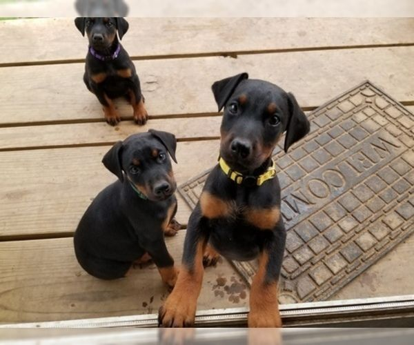 Litter Of 8 Doberman Pinscher Puppies For Sale In Drumright Ok