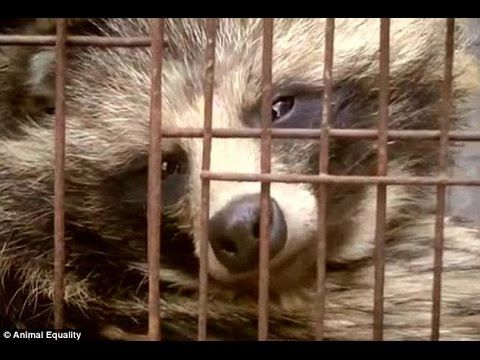 the Chinese fur farms which breed 'raccoon dogs' in tiny cages and skin ...