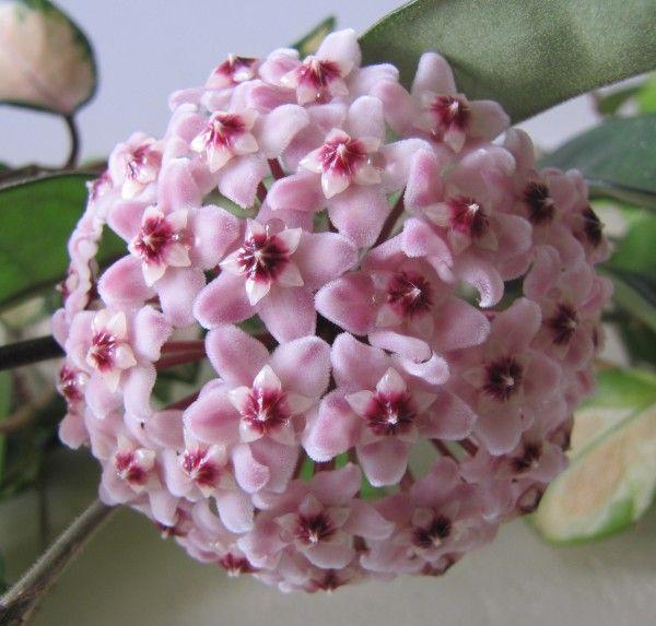 fiori di cera      IMG_2359