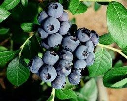 Yummy juicy blueberries - Mamaku Blue Blueberry Experience, Rotorua - www.mamakublue.co.nz