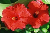 How to Care for a Hibiscus Tree | eHow