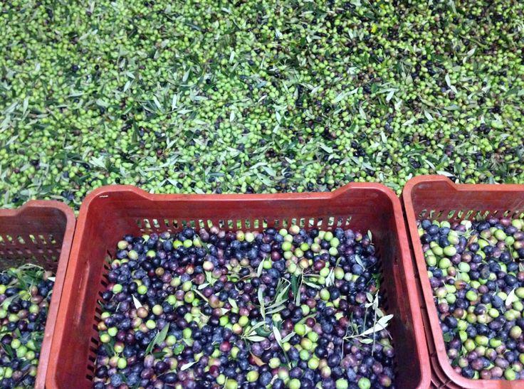 #Olio Extra Vergine d'Oliva #Biologico: ecco il frutto del nostro raccolto 2013 #ilCastellone #ColliEuganei #Padova