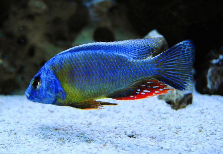 Taiwan Reef Cichlid 120 Gallon All Male Hap Peacock Tank