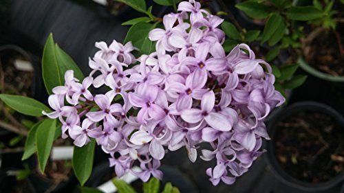 1000 Ideas About Lilac Plant On Pinterest Bottlebrush