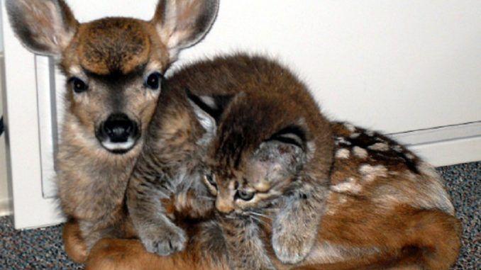 This Sweet Baby Deer Mothers A Helpless Little Kitten