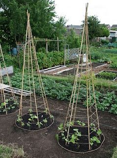 This is a space saver when growing beans. Above is a small space version of the bean tee pee. Your poles can be wood or bamboo. You want to use 5-6 poles that are at least 6 -7 feet tall. Make a tee pee out of them and tie them at the top. Then you will need to make notches with a knife where you will tie the string. If not the rope will slip down. You can plant a bean plant on each side of the poles (2 between each pole). When they start to grow help guide them and then the bean plant…