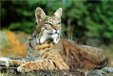 #wildlife #Texas #Bobcats #Cats #Felines #Endangered #Species #Facts The cats adapt very well as #tamable pets.