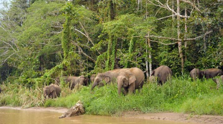 Vilde pygmæ elefanter ved Kinabantanganfloden, Borneo