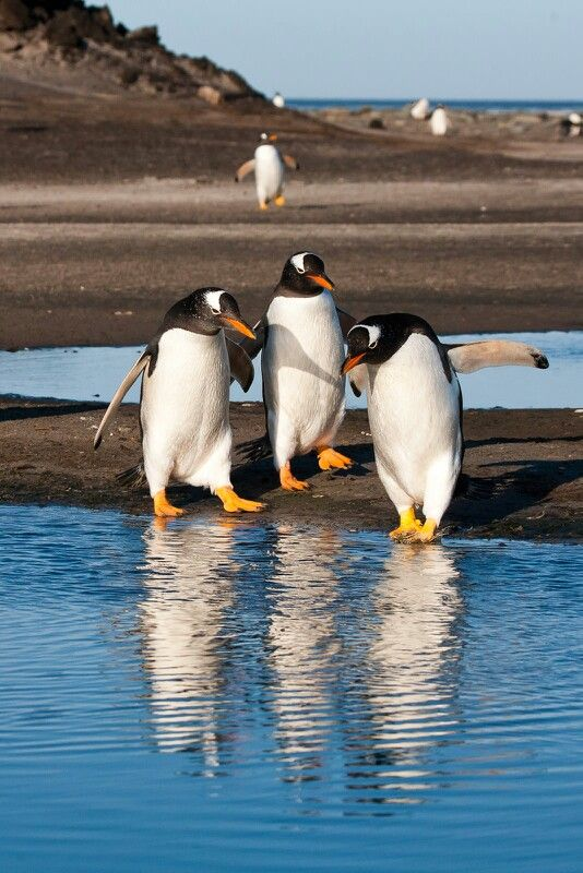 Penguins. Is it cold?  Falklands