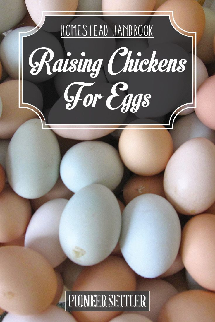 Check out Raising Chickens For Eggs [Chapter 6] Raising Backyard Chickens - Homestead Handbook at http://pioneersettler.com/raising-chickens-for-eggs-chapter-6-raising-backyard-chickens-homestead-handbook/