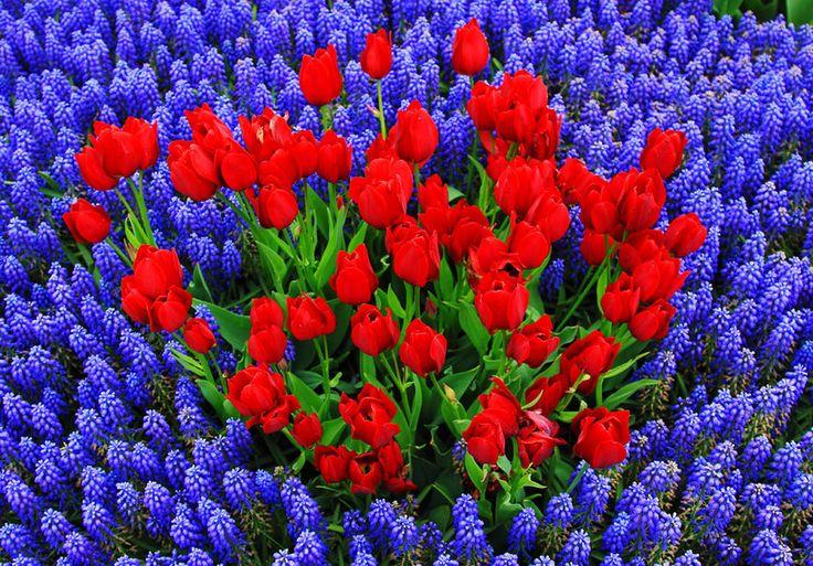 Flores Tulipanes Rojos Y Muscaris Azules Wallpaper