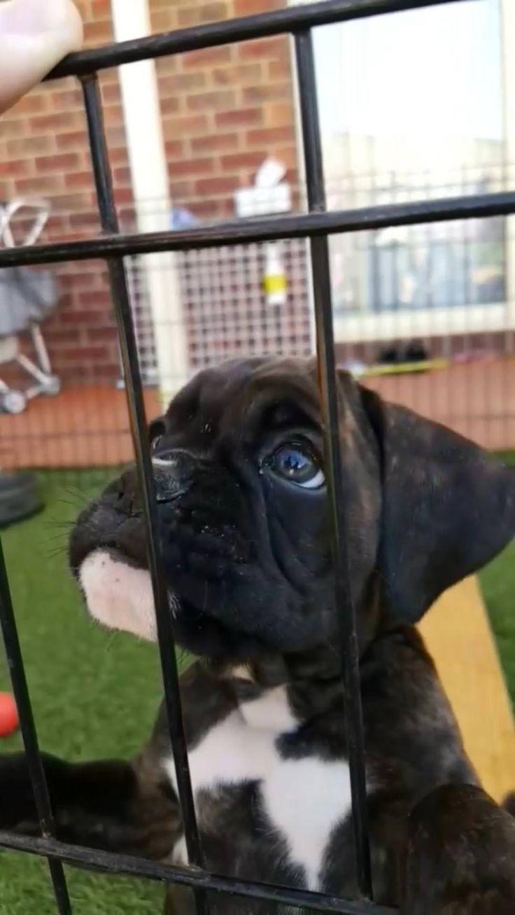 Our new boxer pup Reggie http://ift.tt/2H62WoP