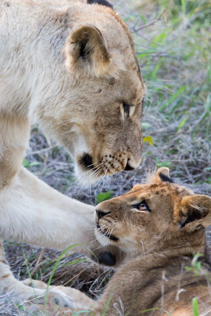That indescribable precious bond between mother and child, lioness & cub.  Photo by Marcus Visic  #mother #child #baby #cute #animal #lion #gaze #cute #cat #nature #wildlife #photography #animals #mothersday #bond