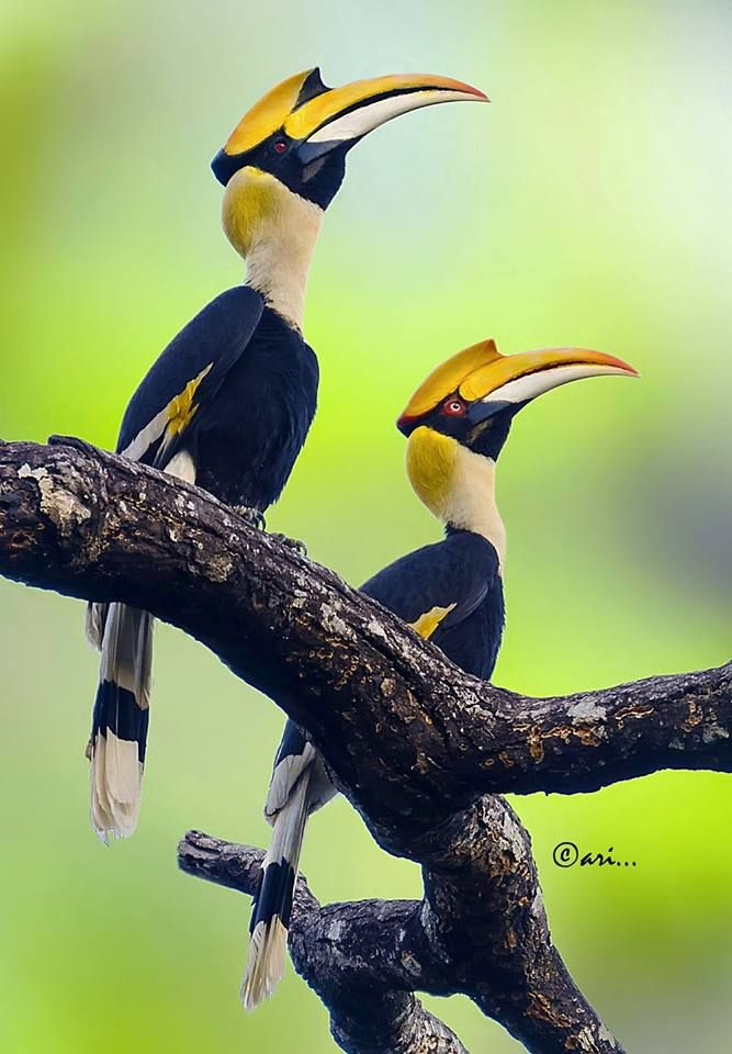 NEAR THREATENED: The Great Indian Hornbill is native to India and SE Asia, threatened by habitat loss and hunting.