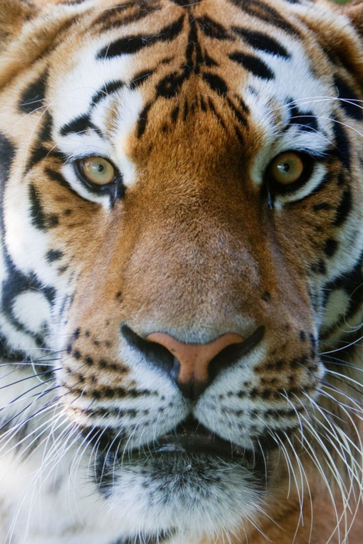 best 25 tiger conservation ideas on pinterest why are tigers