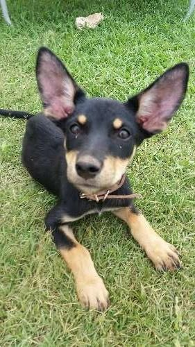 We have 6 beautiful purebred stunning kelpie pups available. 2 female red and tan, 2 male red and tan, 2 male black and tan. Mum and dad both have papers. Mum and Dad are working cattle on a station and pups show great basic skills! born around the mid of october and are around 10 weeks now'. (we did not want them sold as christmas presents so waited for them to be older) they have been raised around various animals - https://www.pups4sale.com.au/dog-breed/450/Kelpie-(Australian).html