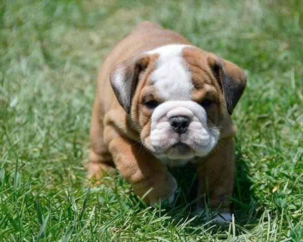 Litter Of 7 English Bulldog Puppies For Sale In Waverly Ks Adn