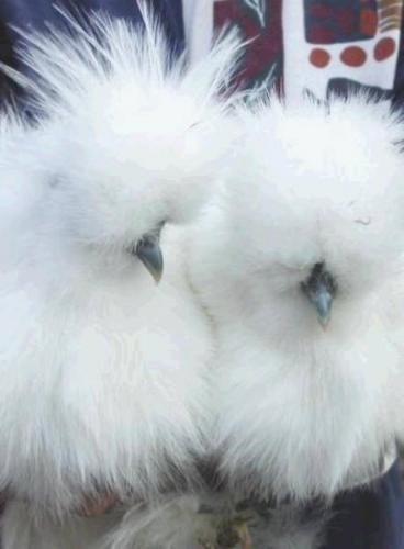 Image detail for -Silkie Chickens For Sale!!! for sale in Wembley, Alberta Classifieds ...