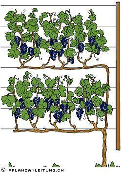 www.pflanzanleitung.ch – Weinreben,Reben sind klimatisch anspruchsvolle Pflanzen. Sie sollten deshalb stets an sonniger, warmer Lage – beispielsweise an der Südseite von Gebäuden – gepflanzt werden. Reben lieben auch einen warmen, tiefgründigen und nährstoffreichen Boden. Die Edel- oder Europäerreben sind anfällig gegenüber Echtem und Falschem Mehltau. Regelmässig wiederkehrende Pflanzenschutzmassnahmen sind deshalb unerlässlich. Robuster sind die sogenannten Hybridreben. dhanuta s