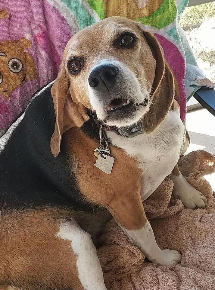 Beagle Friendly and Curious Beagle dog, Dog adoption