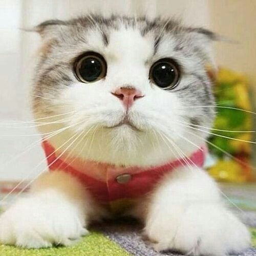 5857 best cute cats images on pinterest kitty cats fluffy kittens awww voltagebd Images