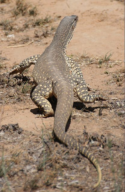 Goannas are large carnivorous lizards with over 30 extant species.  25 of which are native to Australia.  The largest species (Varanus giganteus) can grow over 2.5 metres in length and is found in the most remote desert regions of the north west.  They eat insects, reptiles, small mammals and some species are venomous.