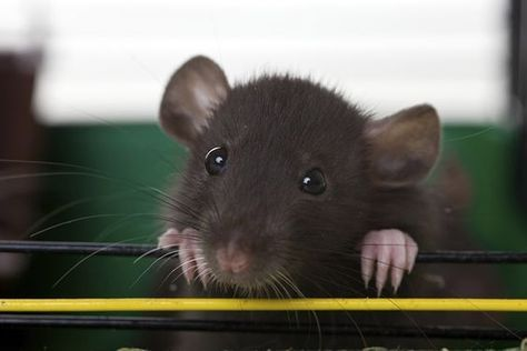 How to Read a Rat
