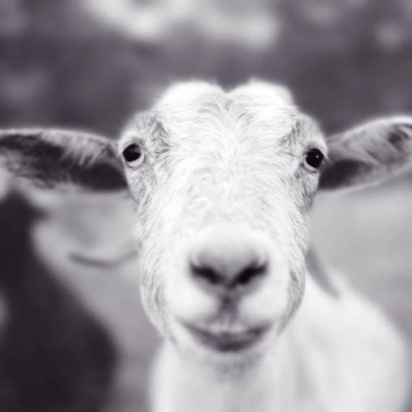 "Black and White Photography Print ""Mitten the Goat"""
