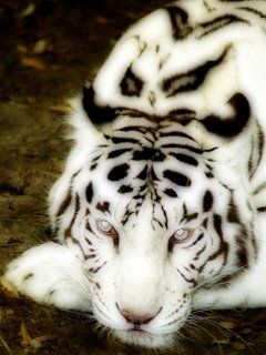 to hold or pet a white tiger