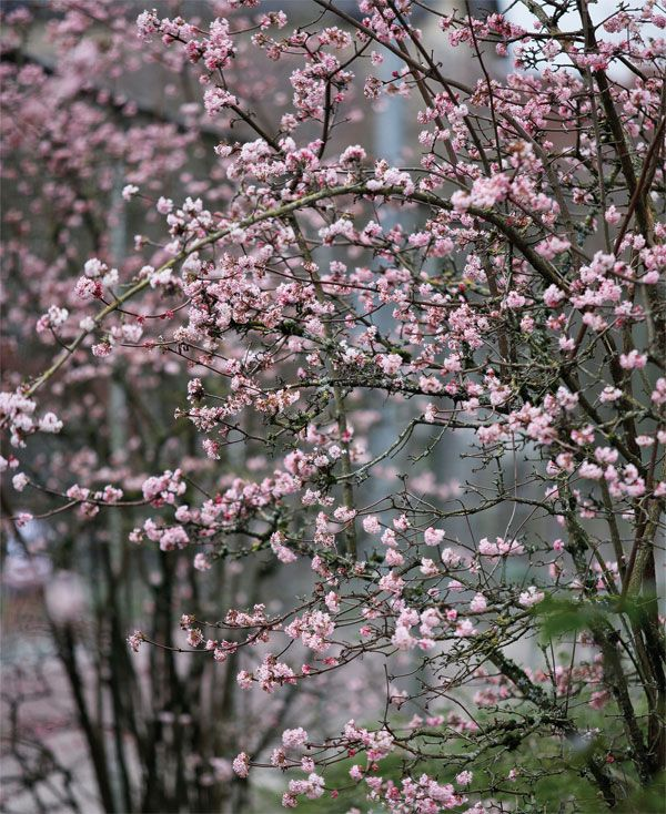 A medium-to-large deciduous shrub (mature plants are 6-by-8 feet), the v-shaped Charles Lamont has a strong vertical habit when it is young, later arching outwards gracefully. Image by Josh McCollough (quoted)