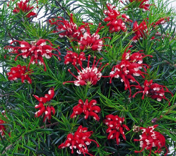 Grevillea Flowers