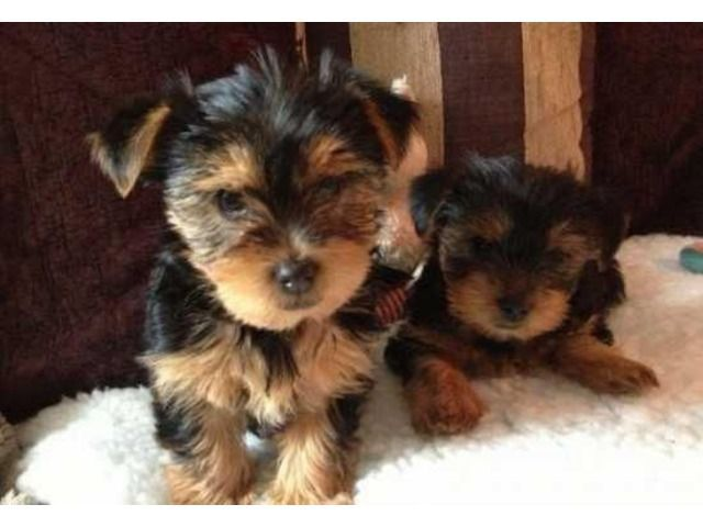 Male And Female Yorkie Puppies For Sale Yorkiepuppyoutfits Yorkie Puppy Yorkshire Terrier Yorkie Puppy For Sale