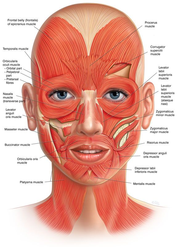 Facial muscles frontal view