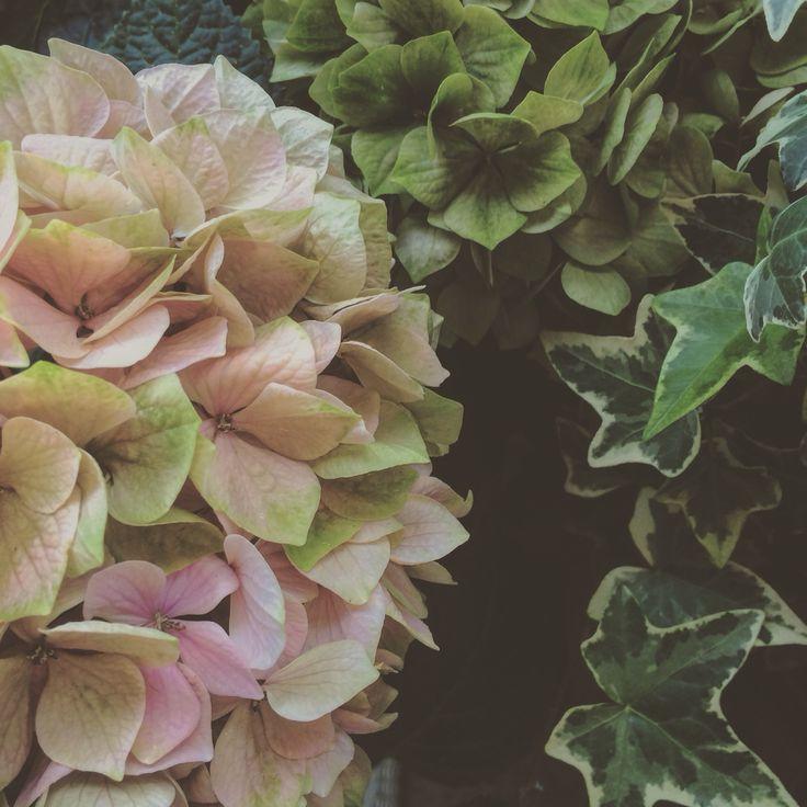 Hortensia och brokbladig murgröna
