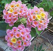 High Heat Flowers For Hot Summer AreasHigh Heat, Lantana Camara, Heat Flower, Dreams Housesflowersgarden, Summer Area, Flower Plants, Area Plantsfortexa, Hot Summer, Gardens Plants