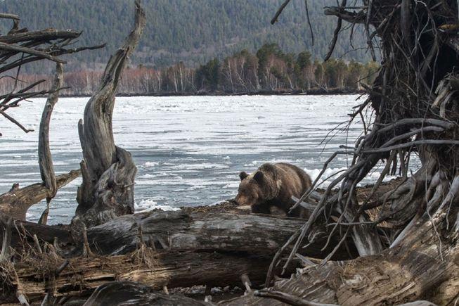 Хозяин Байкальской тайги.  Байкал, Забайкальский национальный парк. Заповедное Подлеморье.