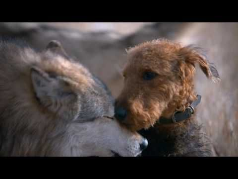 Blue Wolf Dog Food Commercial
