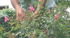 Info on deadheading various plants.
