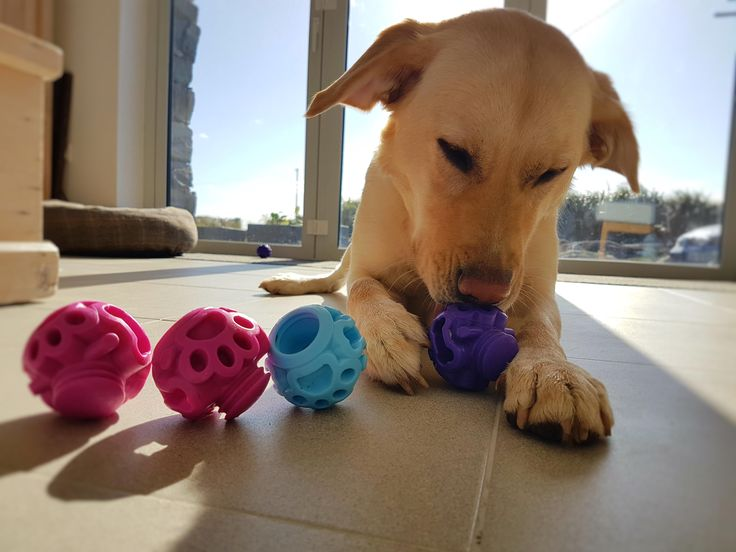 Sandy the not so 100% labrador is the inspiration behind K9 Connectables dog toys. Designed in Dublin Ireland they are interactive toys that stimulate a dog mentally and challenge them to break them apart to retrieve their rewards ! They help to calm high energy and food motivated dogs by engaging them for sustained periods of time.