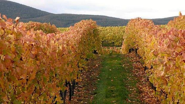 The Courabyra  Wines vineyard in Tumbarumba - review on my fav sparkling - Courabyra 805 - from my hometown !