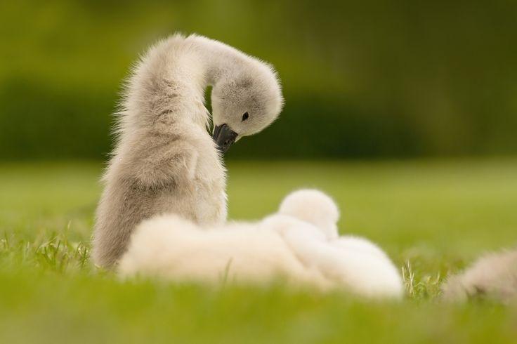 Little swan - null